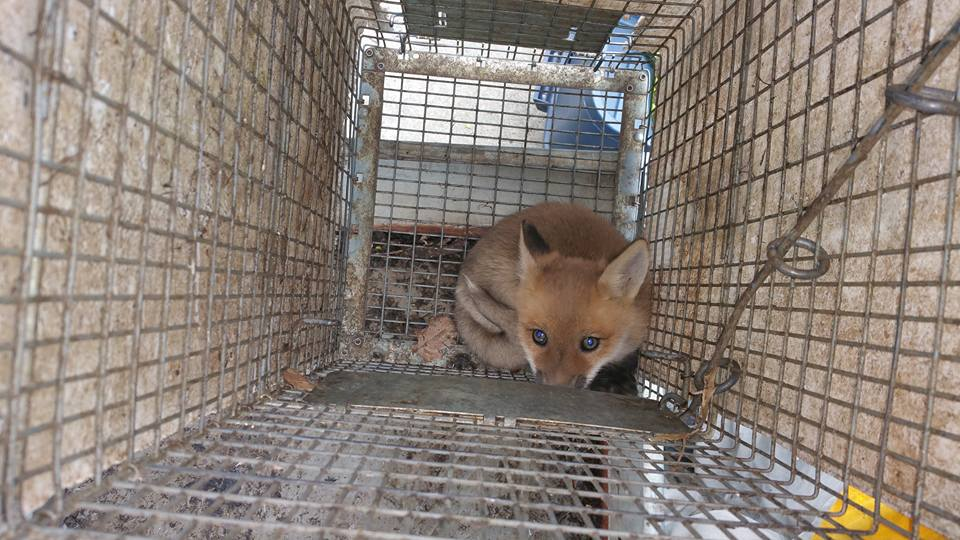 Fox Removal in Live Trap, Kaw Valley Property